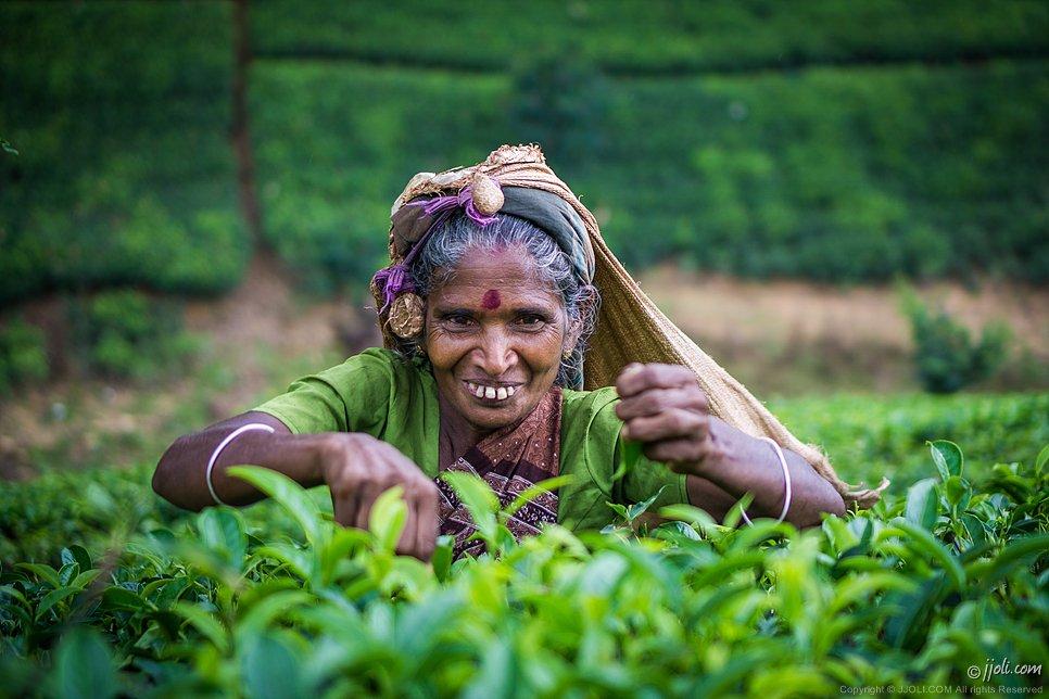 Tamil tea-picker, Sri Lanka
